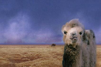 weeping-camel_panorama.jpg